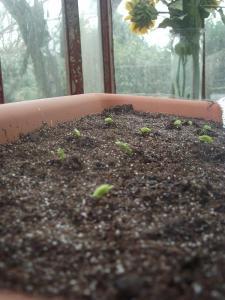 Broad bean beginnings