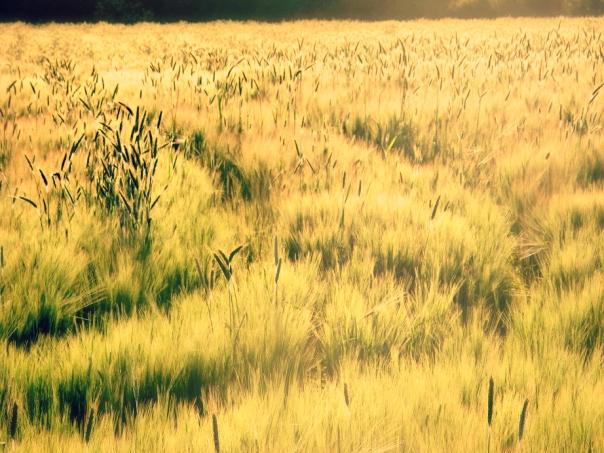 wheatfieldsLJ